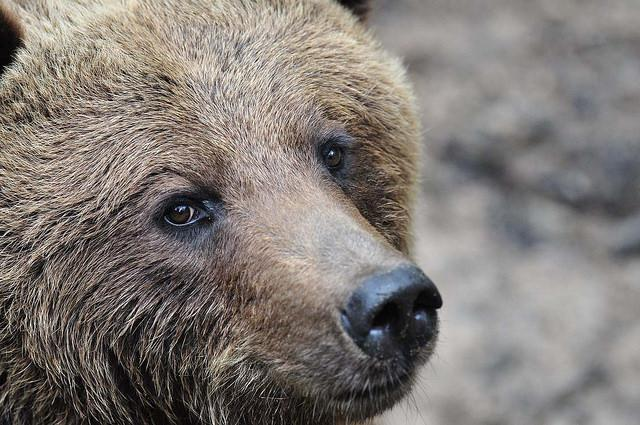 Ein lieb dreinschauender Bär im schönen Wildpark Schwarze Berge